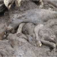 """Calls for Calf Killing Practice to be Banned"" in New Zealand, 2010"