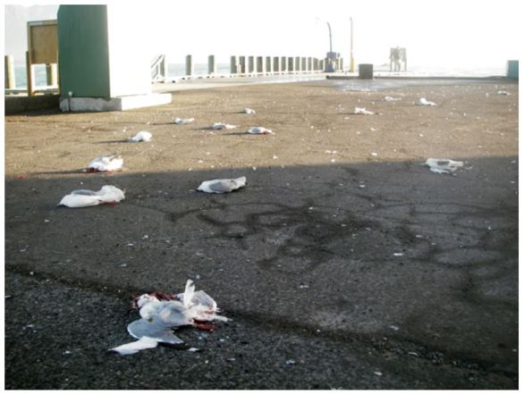 Shot gulls. Dead and dying birds at Kaikoura wharf were then driven over