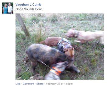 Pig dogs rip into a wild boar
