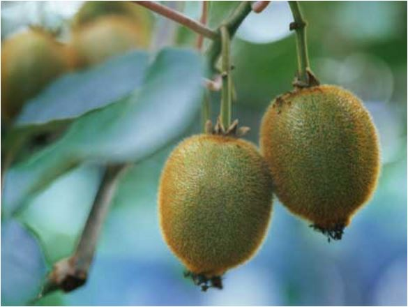 Kiwi fruits are a Chinese import. NZ has much to be grateful for.