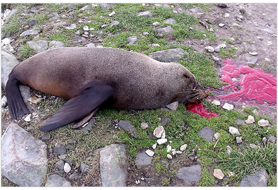 Point Kean seal killed by hoons with paintball gun