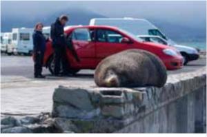 Seal resting at point kean car park